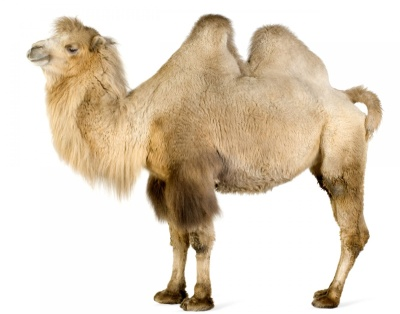 C:\Users\днс\Contacts\Videos\Pictures\молоко\Bactrian-Camel-3.jpg