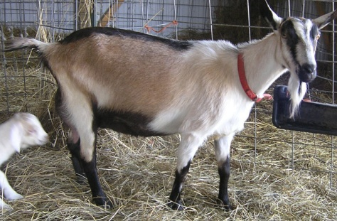 C:\Users\днс\Contacts\Videos\Pictures\молоко\alpine-dairy-goat-1077405.jpg