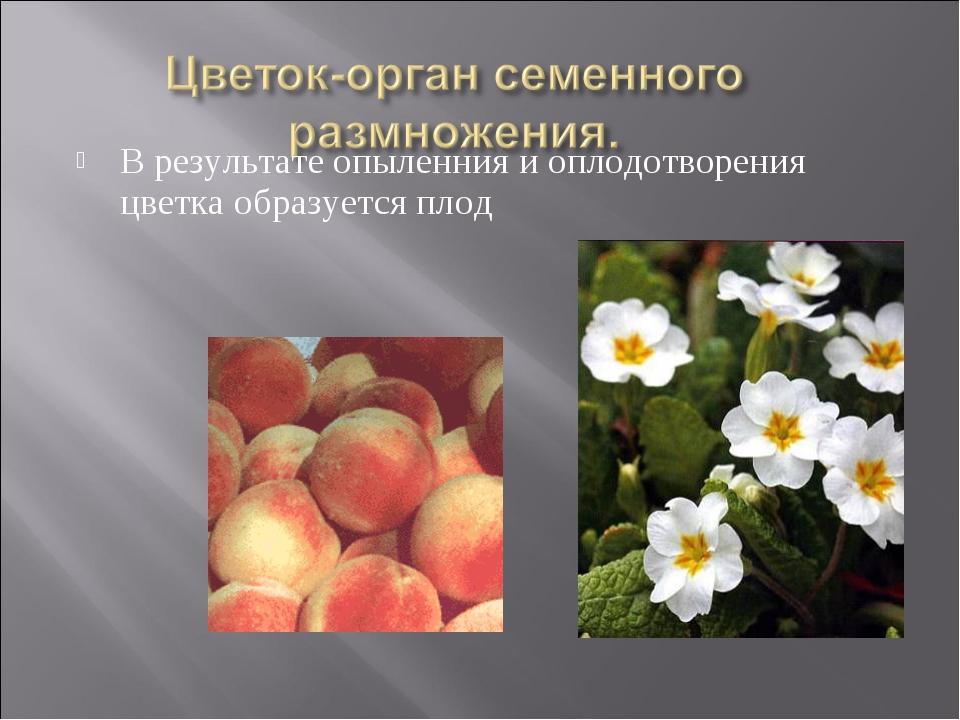 В результате опыленния и оплодотворения цветка образуется плод