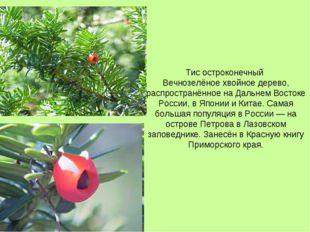 Тис остроконечный Вечнозелёное хвойное дерево, распространённое на Дальнем Во