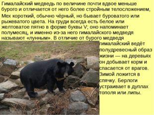 Гималайский медведь по величине почти вдвое меньше бурого и отличается от нег