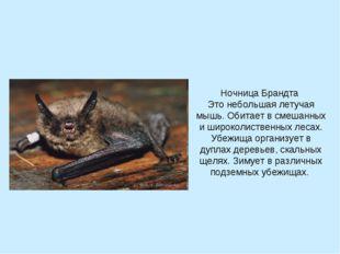 Ночница Брандта Это небольшая летучая мышь. Обитает в смешанных и широколиств