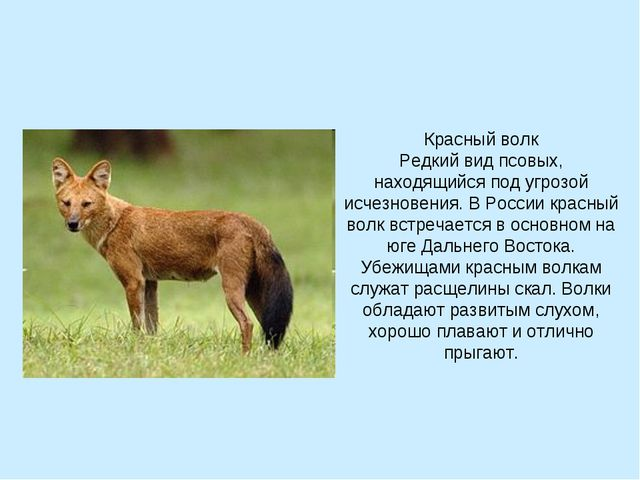 Красный волк Редкий вид псовых, находящийся под угрозой исчезновения. В Росси...