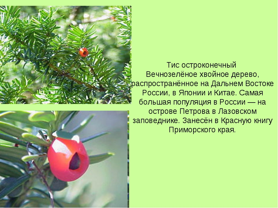 Тис остроконечный Вечнозелёное хвойное дерево, распространённое на Дальнем Во...