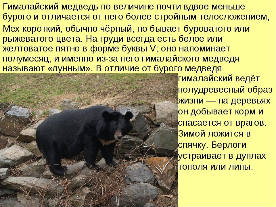Гималайский медведь по величине почти вдвое меньше бурого и отличается от нег...