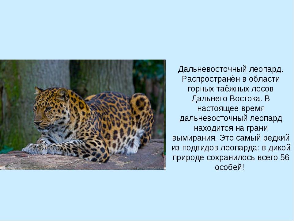 Дальневосточный леопард. Распространён в области горных таёжных лесов Дальнег...