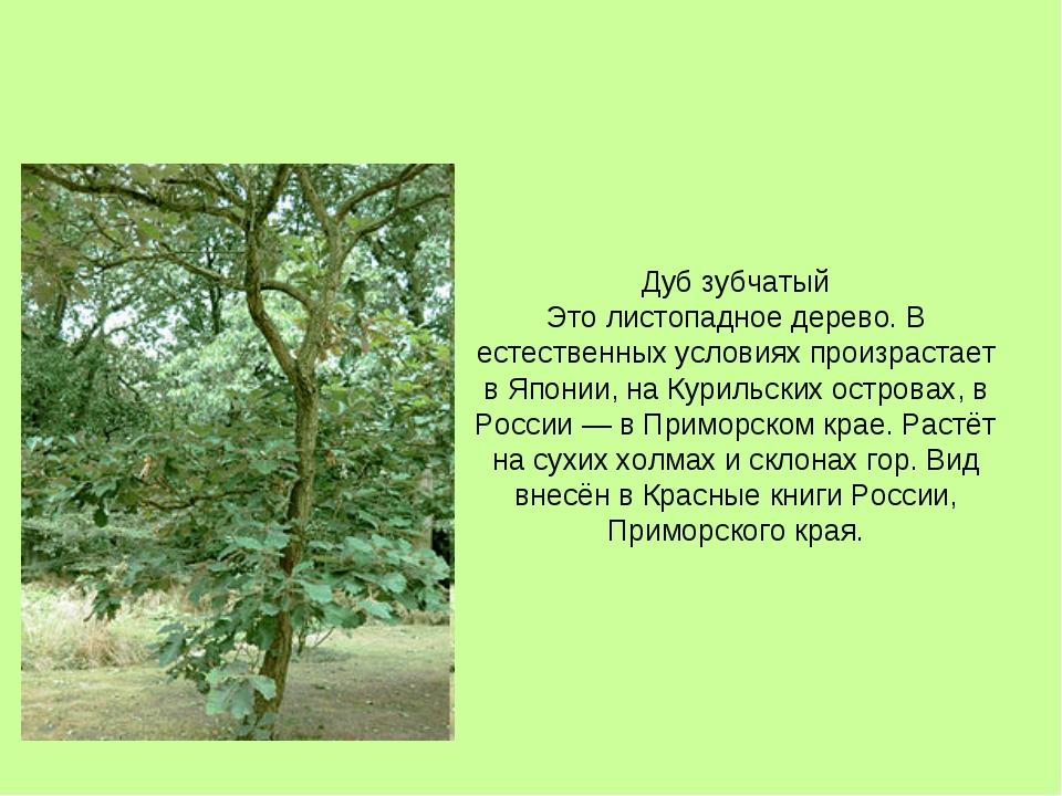 Дуб зубчатый Это листопадное дерево. В естественных условиях произрастает в Я...