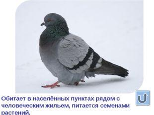 голубь Обитает в населённых пунктах рядом с человеческим жильем, питается сем