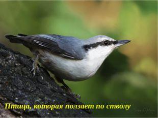 Птица, которая ползает по стволу