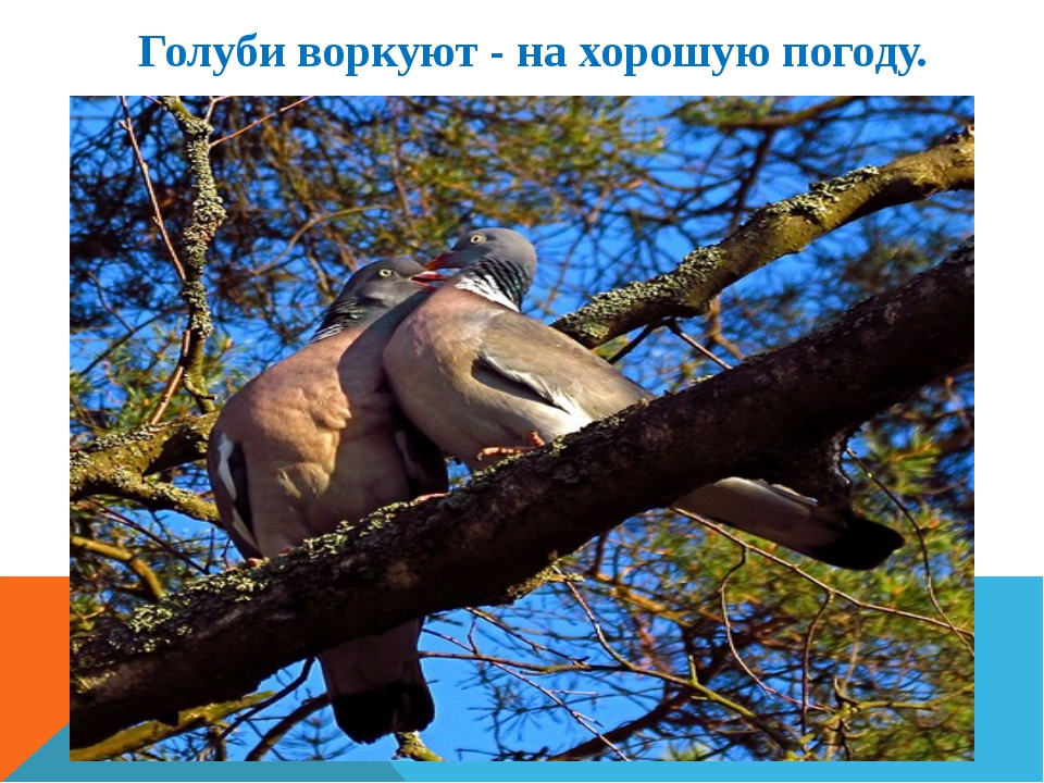 Голуби воркуют - на хорошую погоду.