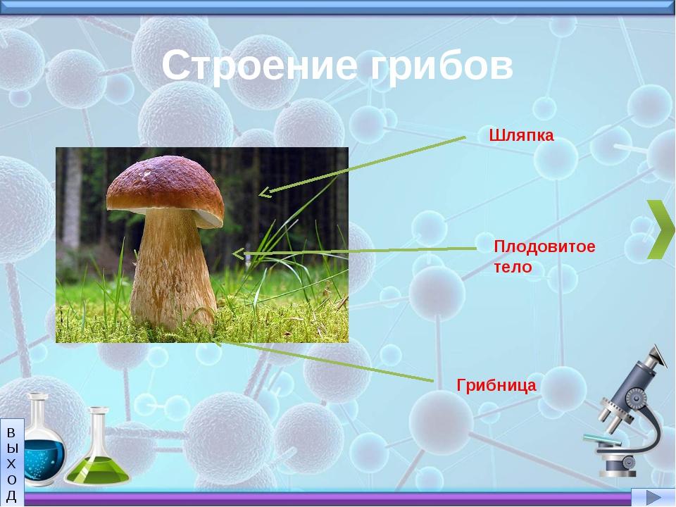 Строение грибов Шляпка Плодовитое тело Грибница В Ы Х О Д