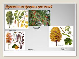 Древесные формы растений Береза(9) Рябина(7) Клен(1) Осина(3)