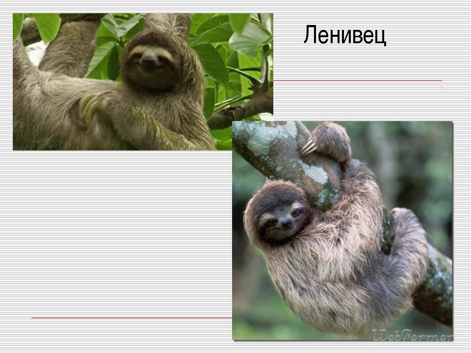 Ленивец