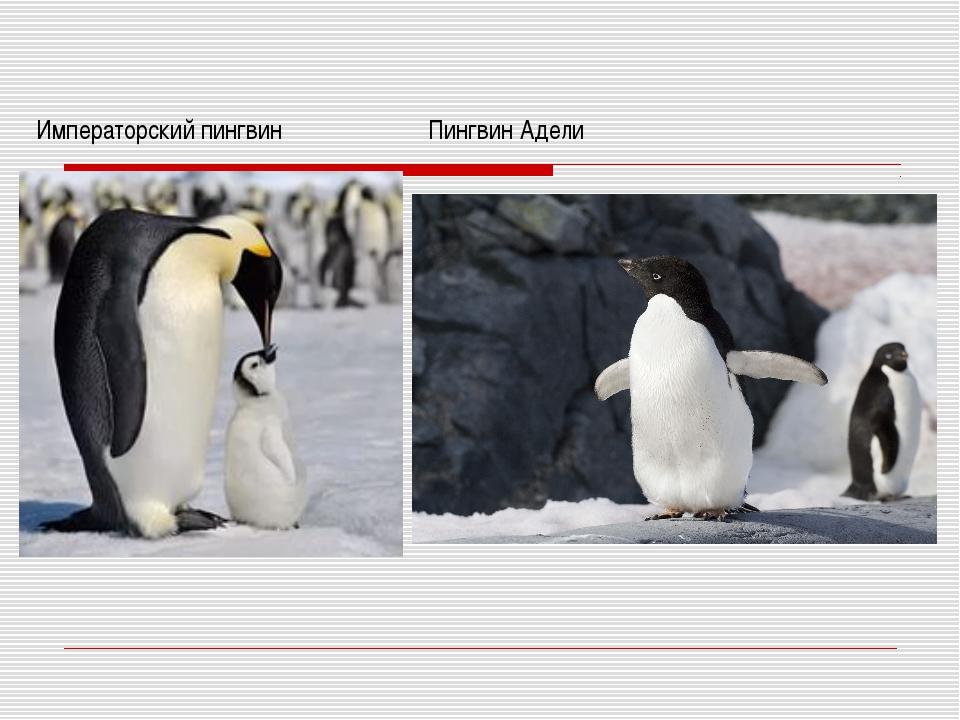 Императорский пингвин Пингвин Адели