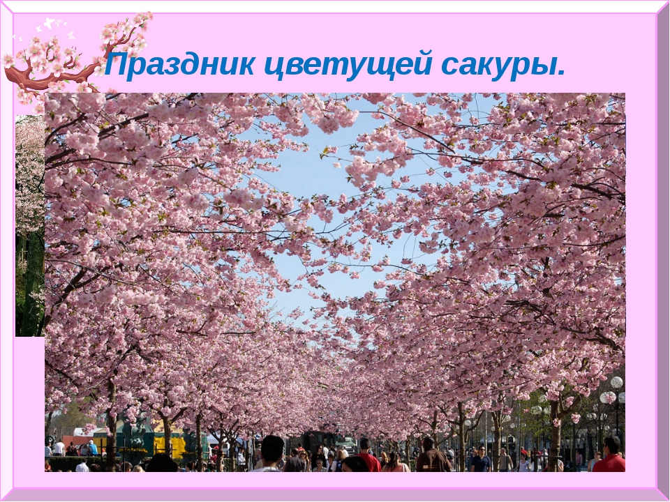 Праздник цветущей сакуры.