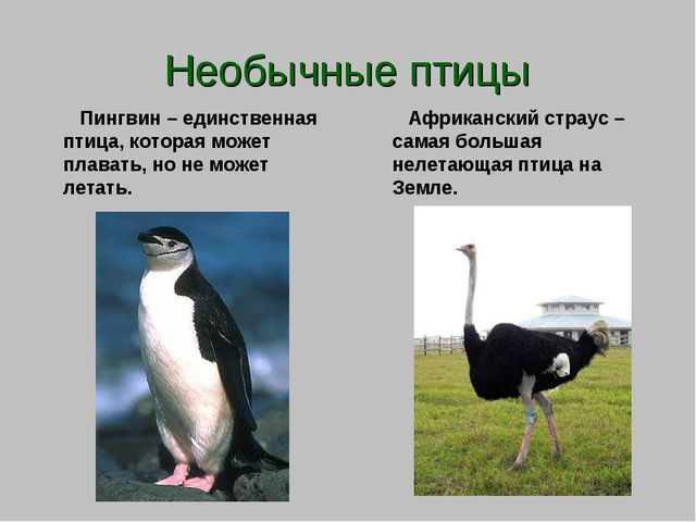 Необычные птицы Пингвин – единственная птица, которая может плавать, но не мо...