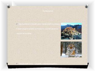 Хищники Дальневосточный или Амурский леопард- Самая редкая кошка на планете,