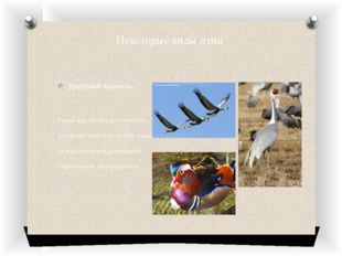 Некоторые виды птиц Даурский журавль- Редкий вид, его общая численность соста