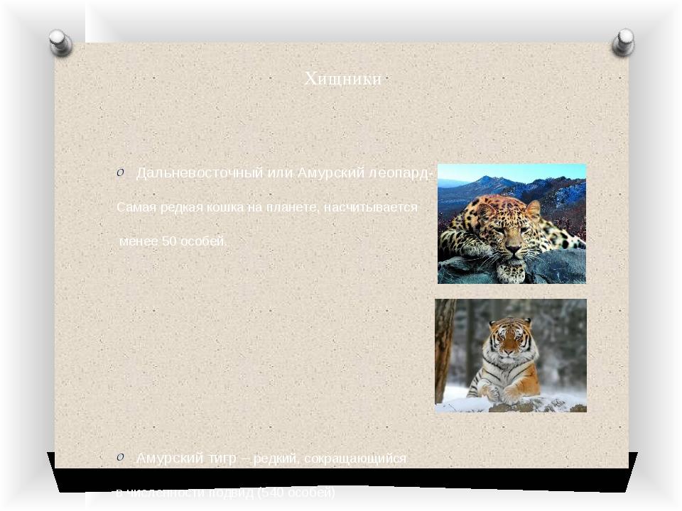 Хищники Дальневосточный или Амурский леопард- Самая редкая кошка на планете,...