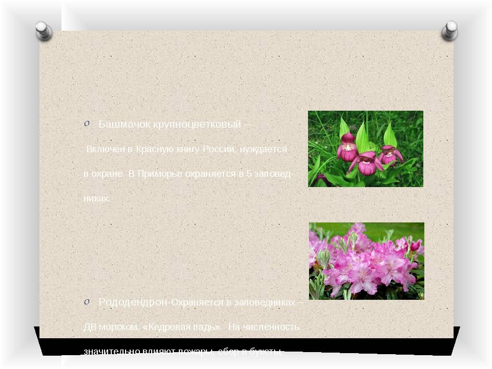 Башмачок крупноцветковый – Включен в Красную книгу России, нуждается в охране...