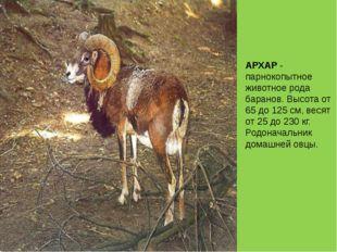 АРХАР - парнокопытное животное рода баранов. Высота от 65 до 125 см, весят от