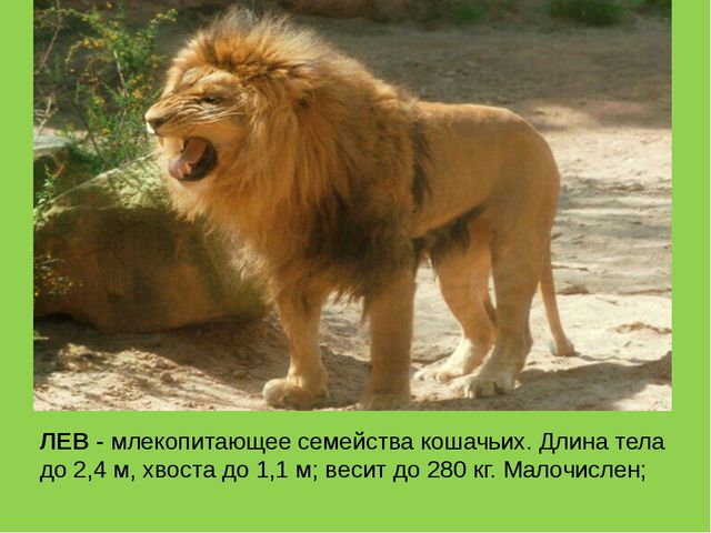ЛЕВ - млекопитающее семейства кошачьих. Длина тела до 2,4 м, хвоста до 1,1 м;...