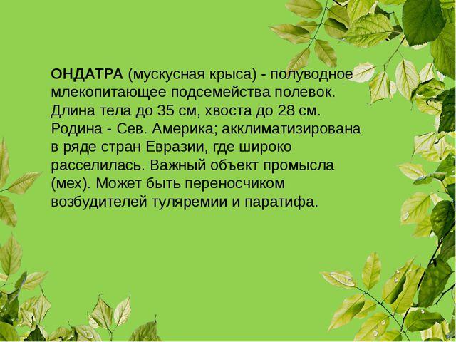 ОНДАТРА (мускусная крыса) - полуводное млекопитающее подсемейства полевок. Дл...
