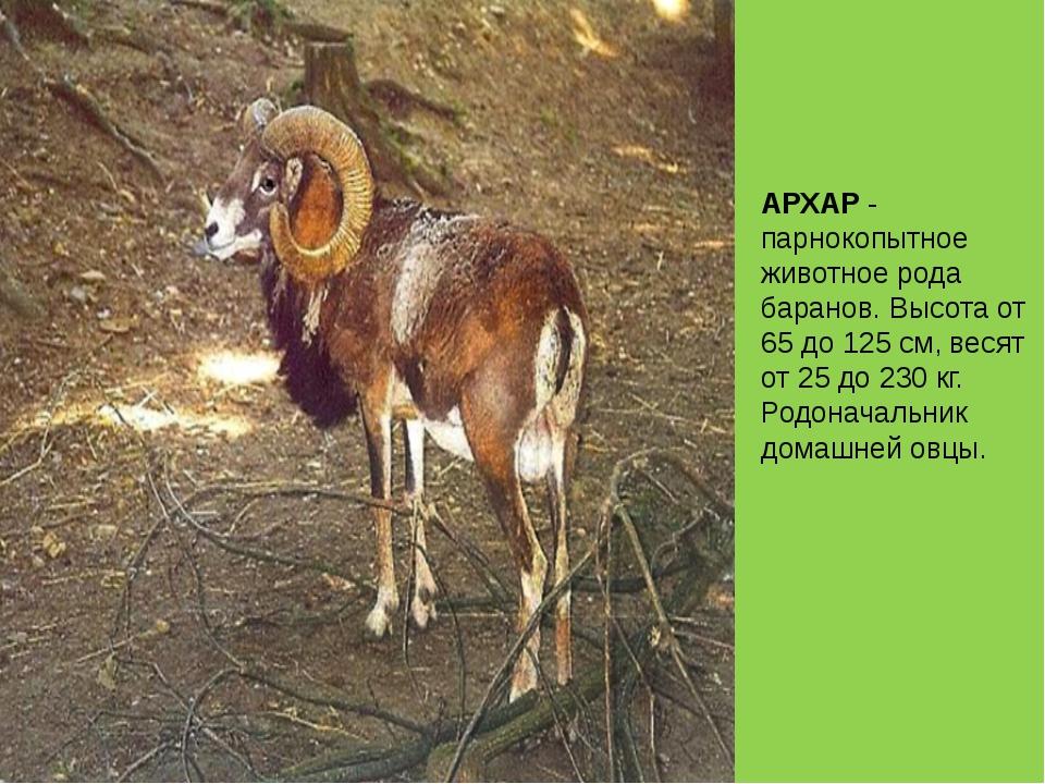АРХАР - парнокопытное животное рода баранов. Высота от 65 до 125 см, весят от...