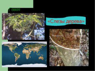 Гевея «Слезы дерева»