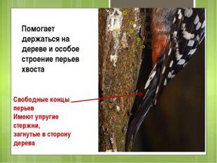 Помогает держаться на дереве и особое строение перьев хвоста Свободные концы