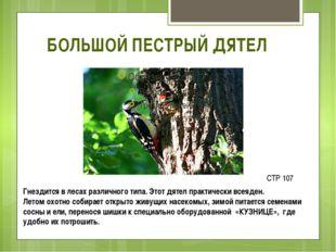 БОЛЬШОЙ ПЕСТРЫЙ ДЯТЕЛ Гнездится в лесах различного типа. Этот дятел практичес