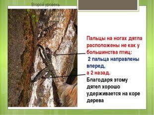 Пальцы на ногах дятла расположены не как у большинства птиц: 2 пальца направл