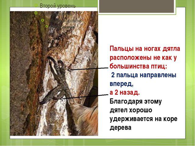 Пальцы на ногах дятла расположены не как у большинства птиц: 2 пальца направл...