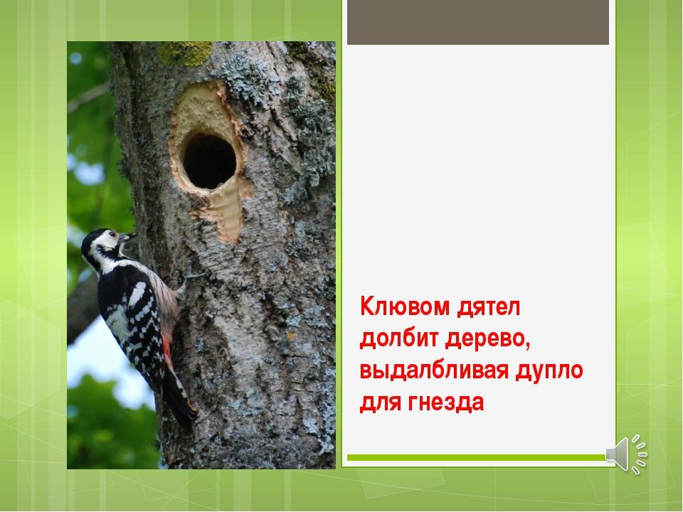 Клювом дятел долбит дерево, выдалбливая дупло для гнезда