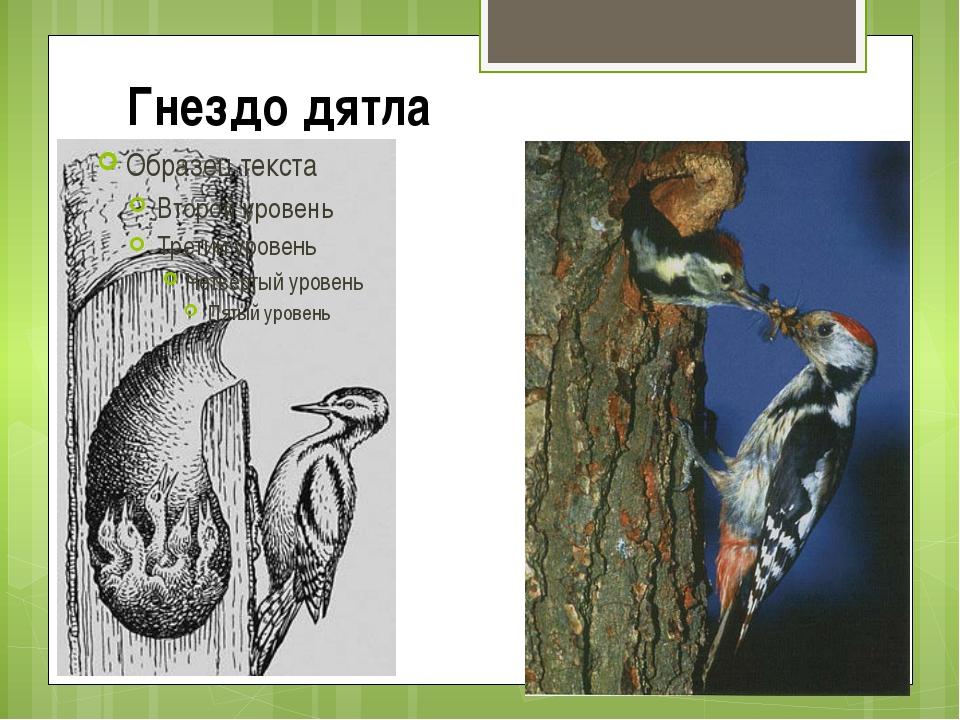 Гнездо дятла