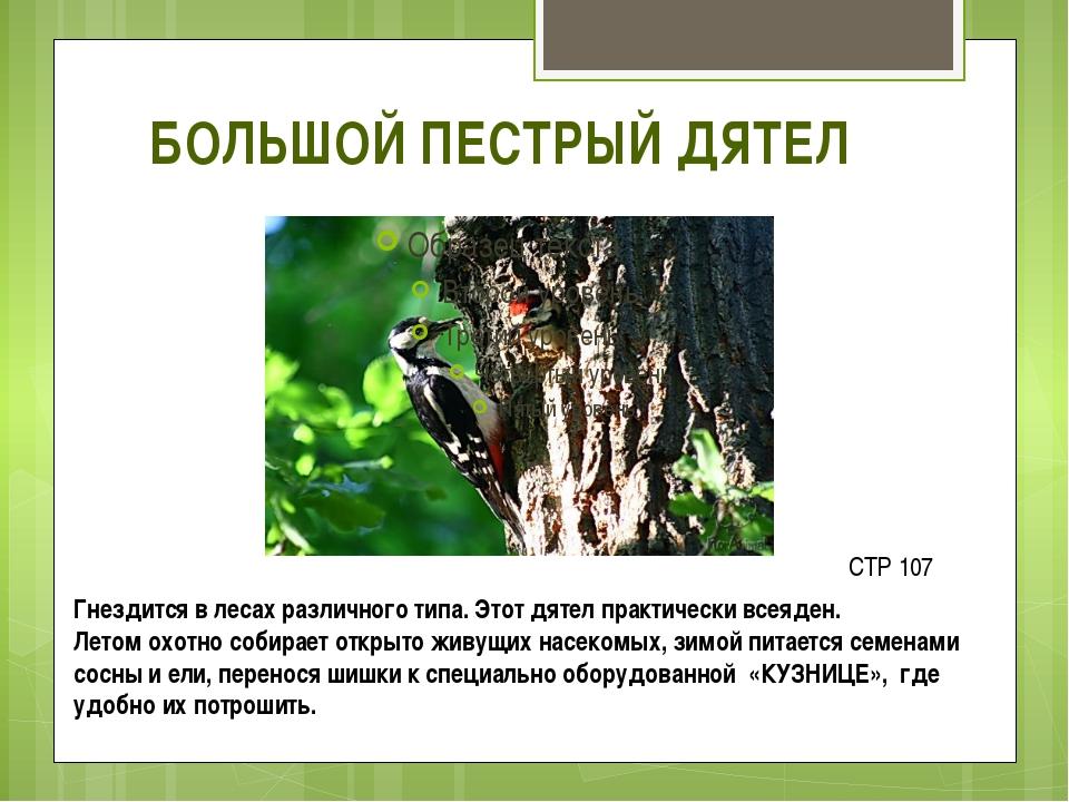 БОЛЬШОЙ ПЕСТРЫЙ ДЯТЕЛ Гнездится в лесах различного типа. Этот дятел практичес...