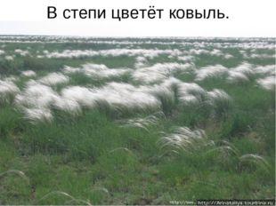 В степи цветёт ковыль.