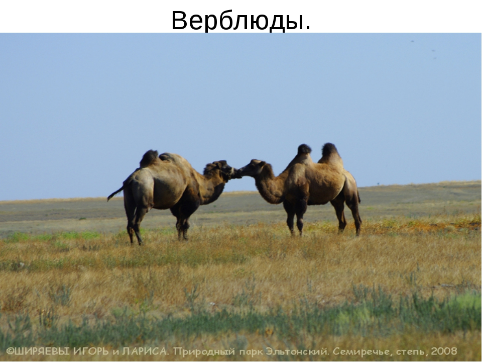 Верблюды.