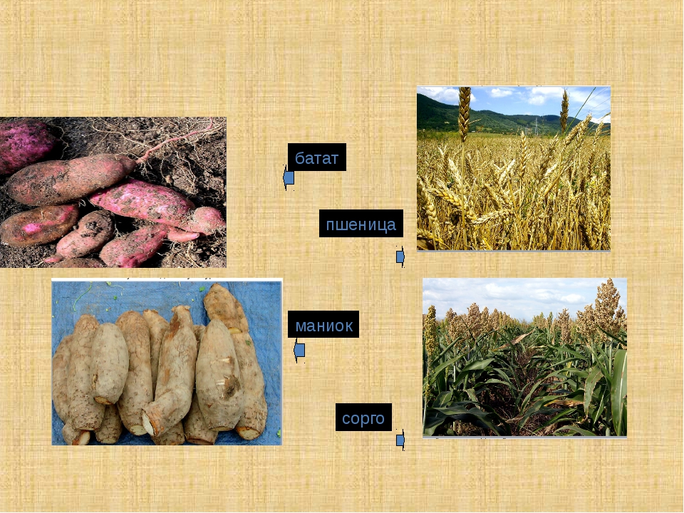 батат пшеница маниок сорго