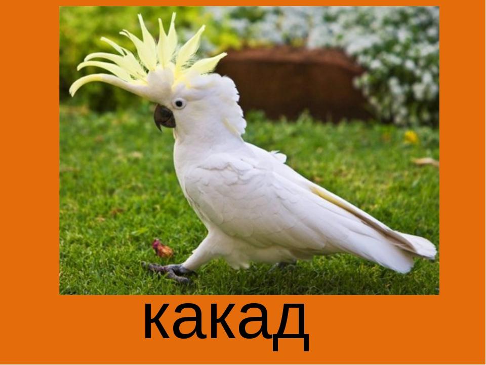 какаду