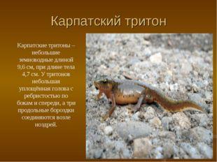 Карпатский тритон Карпатские тритоны – небольшие земноводные длиной 9,6 см, п