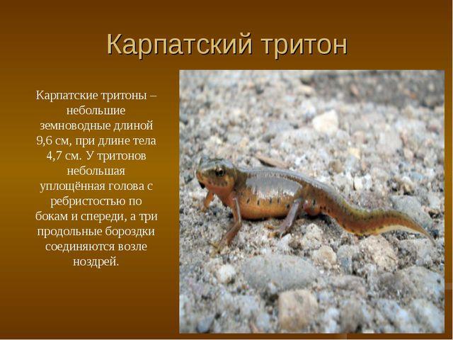 Карпатский тритон Карпатские тритоны – небольшие земноводные длиной 9,6 см, п...