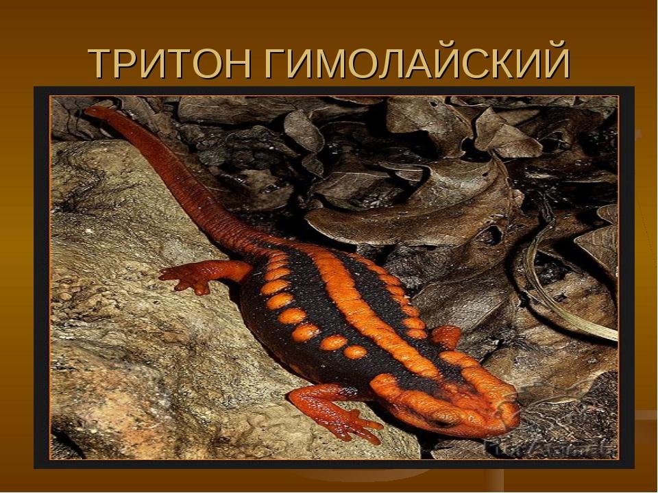 ТРИТОН ГИМОЛАЙСКИЙ