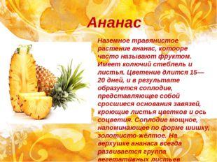 Ананас Наземное травянистое растение ананас, котооре часто называют фруктом.