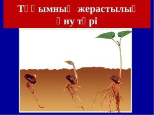 Тұқымның жерастылық өну түрі