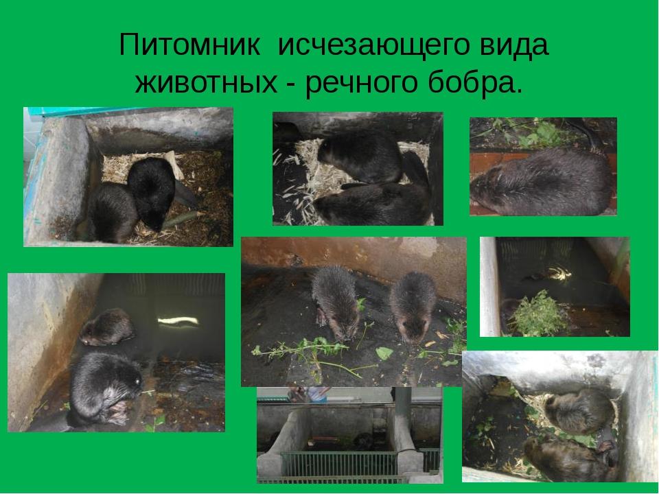 Питомник исчезающего вида животных - речного бобра.
