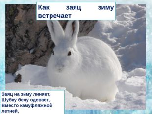 Как заяц зиму встречает Заяц на зиму линяет, Шубку белу одевает, Вместо каму