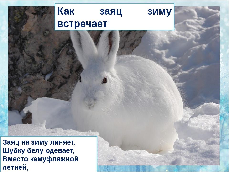 Как заяц зиму встречает Заяц на зиму линяет, Шубку белу одевает, Вместо каму...