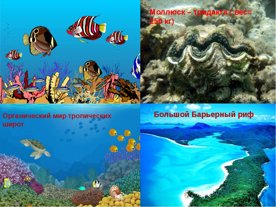 Моллюск – тридакта ( вес= 250 кг) Большой Барьерный риф Органический мир тро...