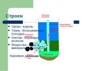 Строение корня Орган –корень Ткань –Всасывающая (сосуды) Клетки– Корневые вол
